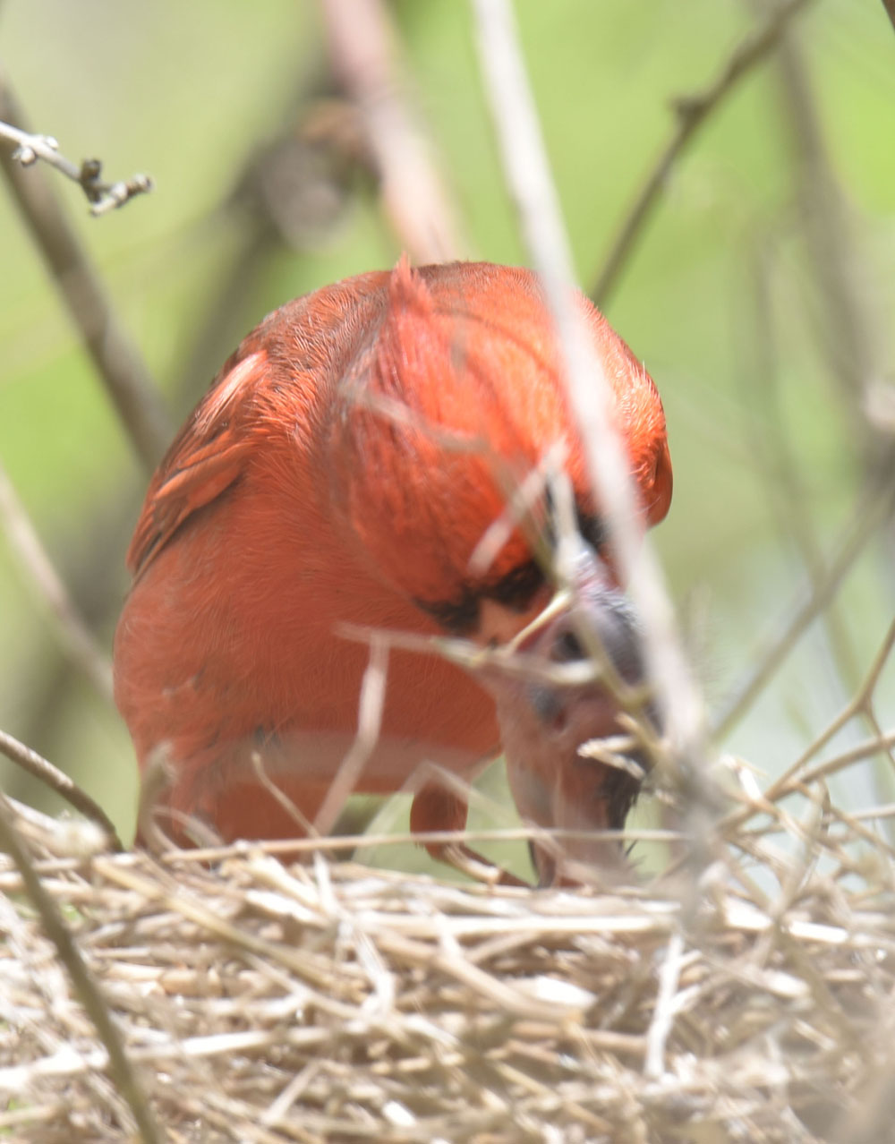 Photo of Northern Cardinal Male a Chick May 10 on NaturalCrooksDotCom