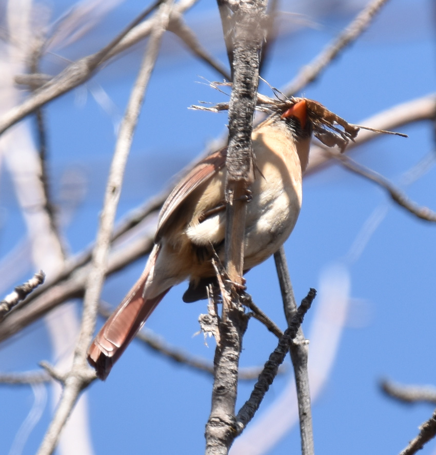 Photo of Northern Cardinal Mama Nesting Material April 18 on NaturalCrooksDotCom