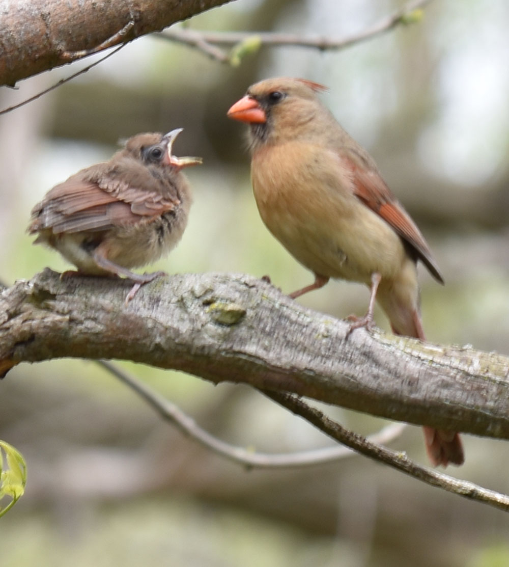 Photo of Northern Cardinal Mama Fledgling May 15 on NaturalCrooksDotCom