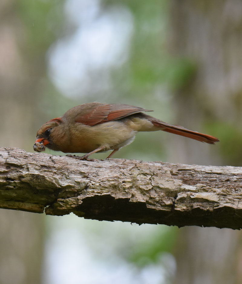 Photo of Northern Cardinal Mama with Food May 26 on NaturalCrooksDotCom