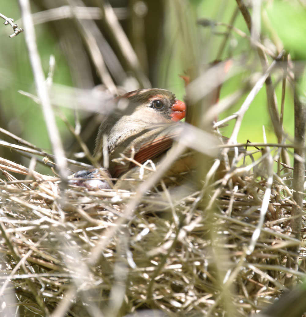 Photo of Northern Cardinal Mother on Nest May 12 OnNaturalCrooksDotCom