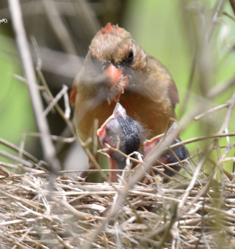 Photo of Northern Cardinal Mrs Feeding Left Chick Again May 10 On NaturalCrooksDotCom
