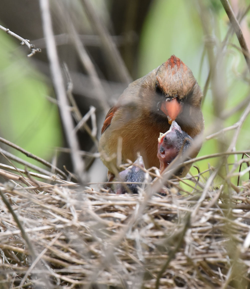 Photo of Northern Cardinal Mrs Feeding Right Chick May 10 On NaturalCrooksDotCom