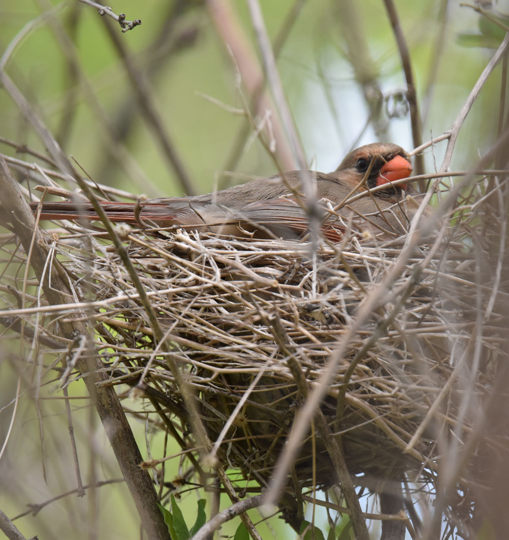 Photo of Northern Cardinal Mrs Incubating May 10 onNaturalCrooksDotCom