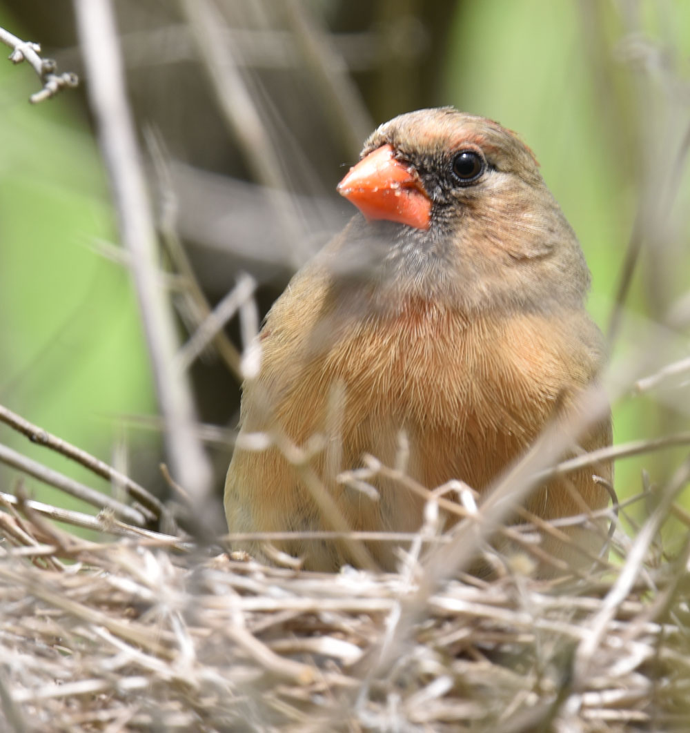 Photo of Northern Cardinal Mrs Warming May 10 onNaturalCrooksDotCom