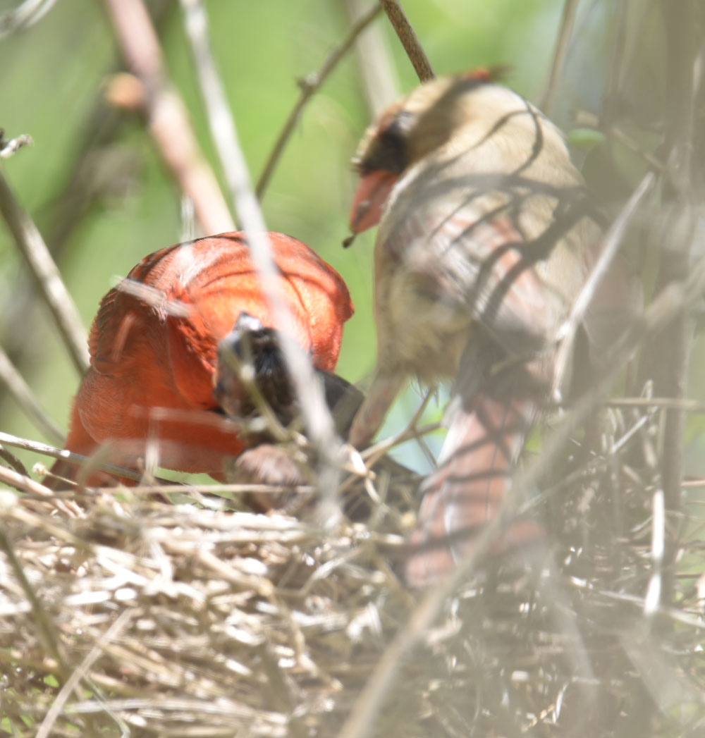 Photo of Northern Cardinal Pair Feeding May 12 On NaturalCrooksDotCom
