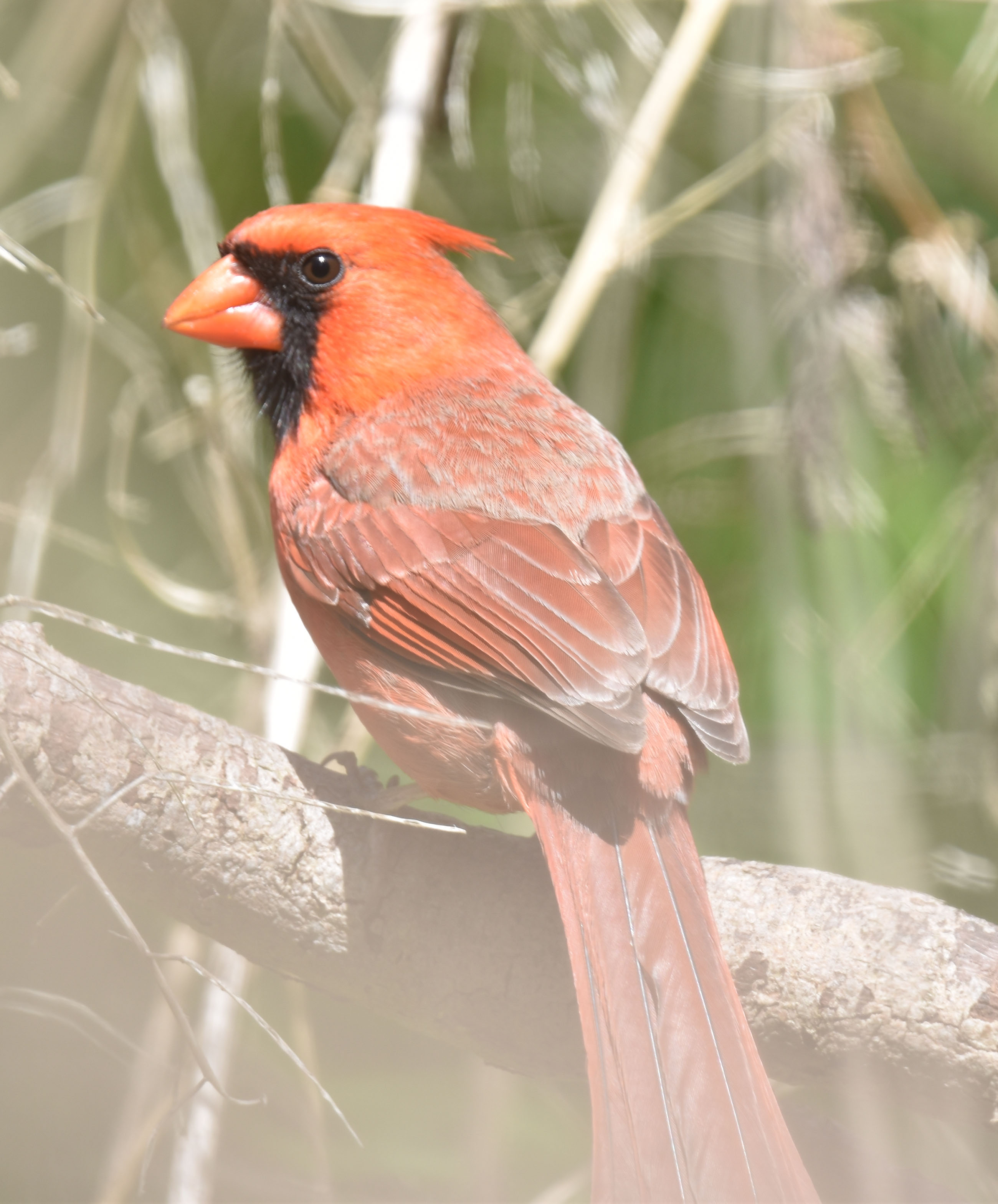 Photo of Northern Cardinal Papa May 12 On NaturalCrooksDotCom