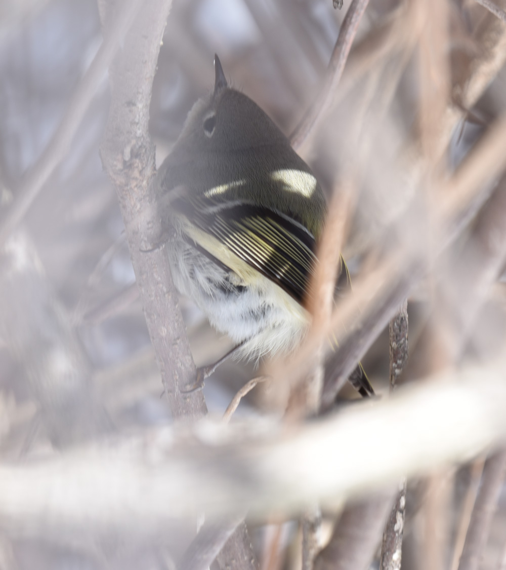 Photo of Ruby Crowned Kinglet Snowy Twigs on naturalcrooksdotcom
