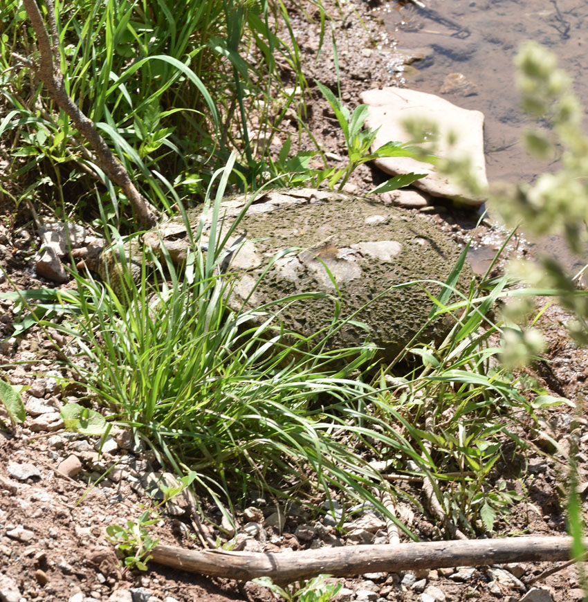 Photo of Snapping Turtle Camoflage on NaturalCrooksDotCom