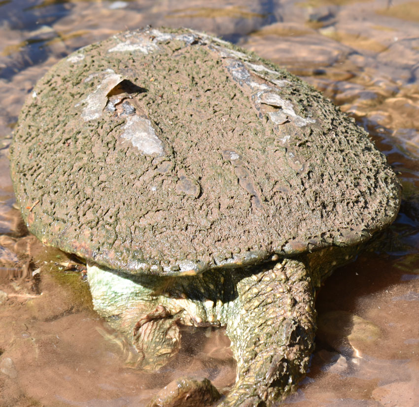 Photo of Snapping Turtle Female Tail on NaturalCrooksDotCom