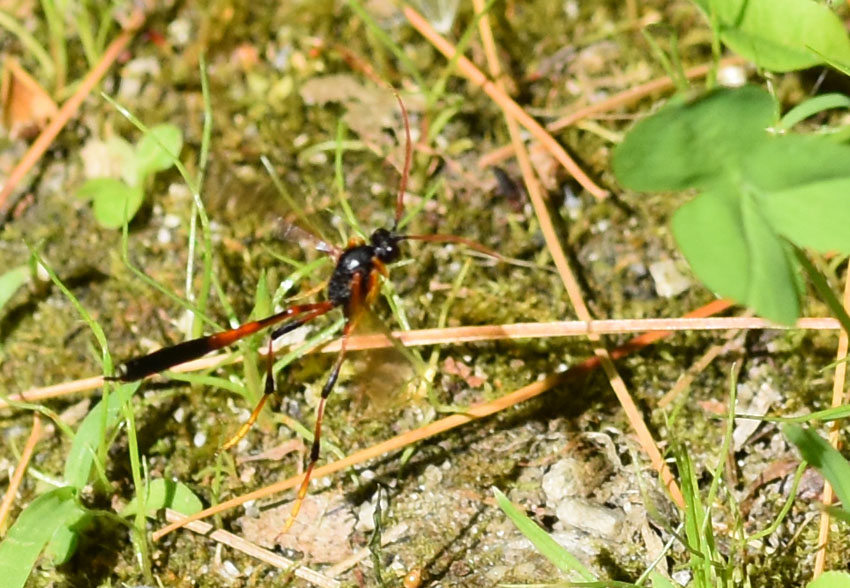 Photo of Therion Ichneumon Wasp Clover on NaturalCrooksDotCom