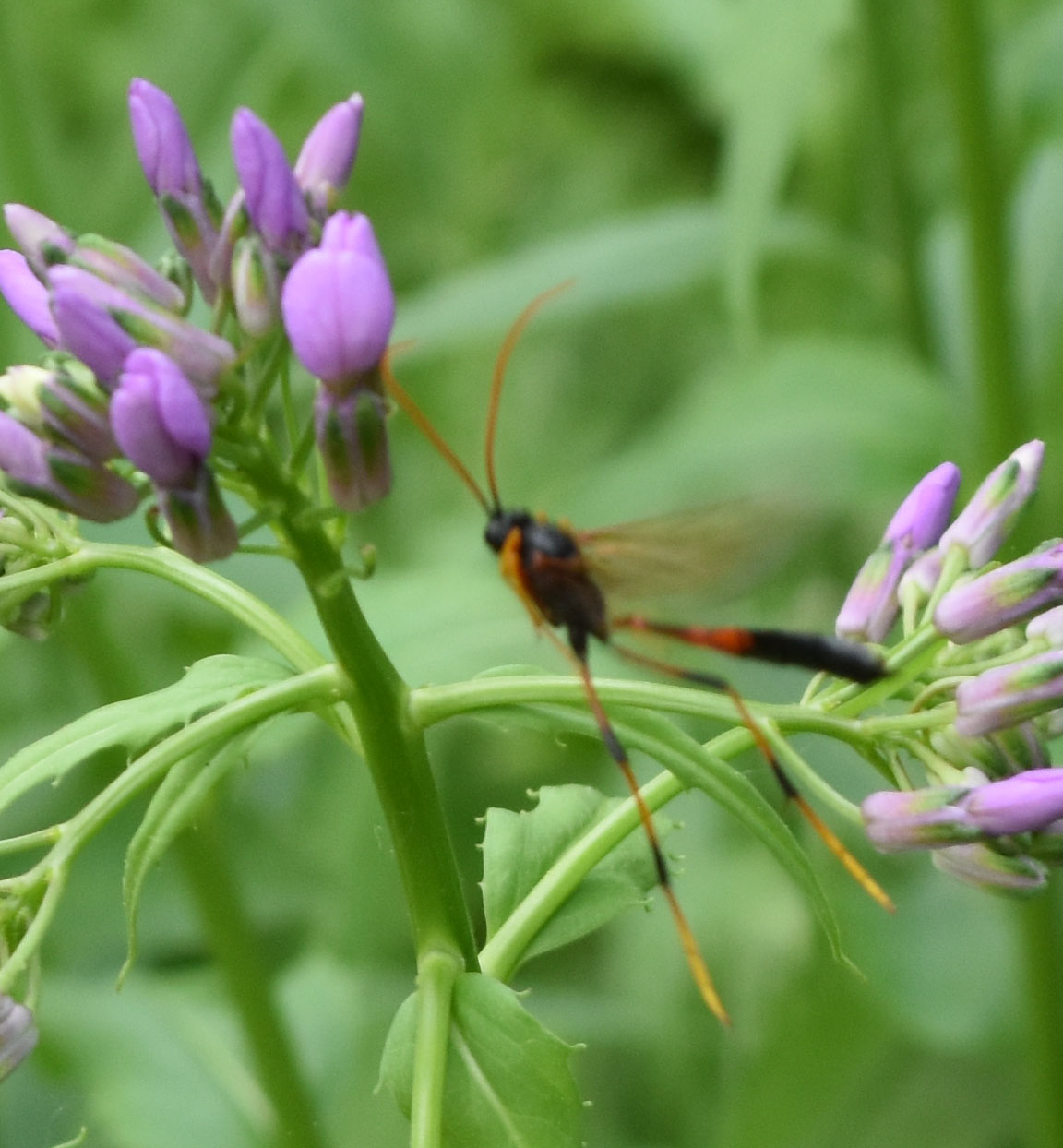 Photo of Therion Ichneumon Wasp near Dames Rocket On NaturalCrooksDotCom