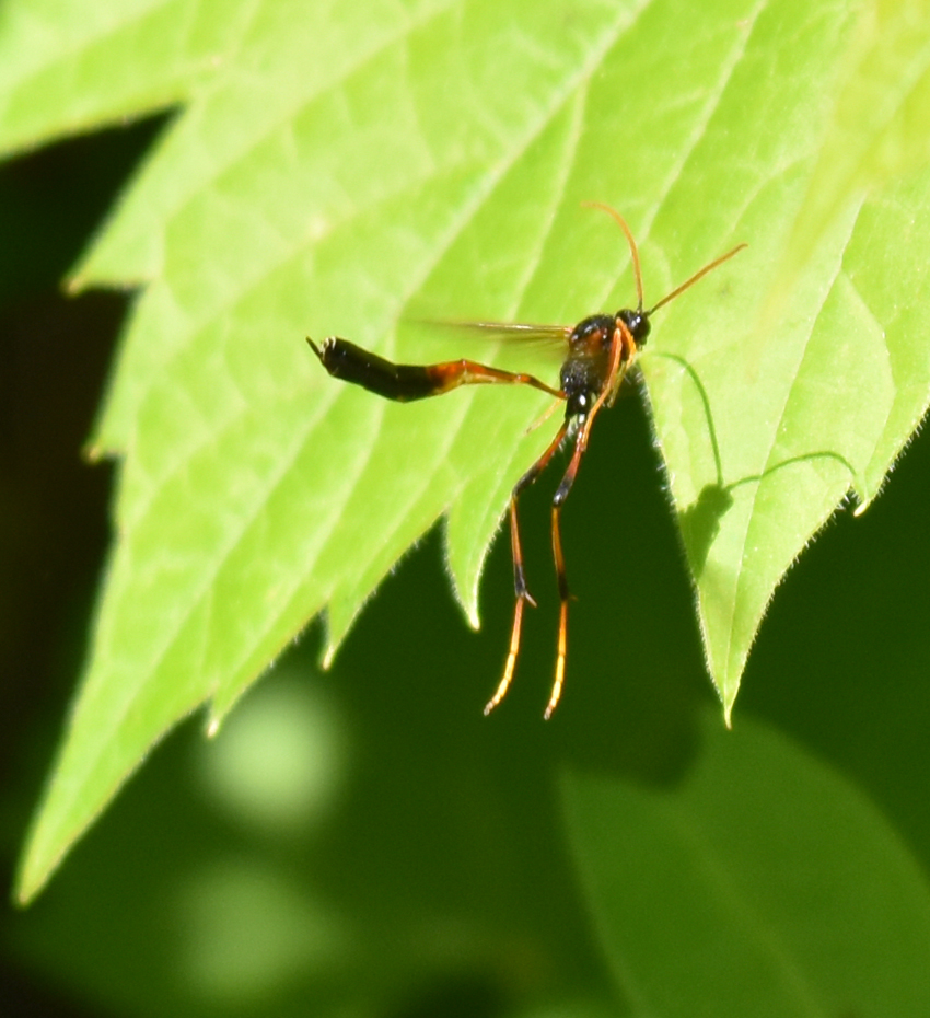 Photo of Therion Red Yellow Leg Ichneumon Grape Leaf on NaturalCrooksDotCom