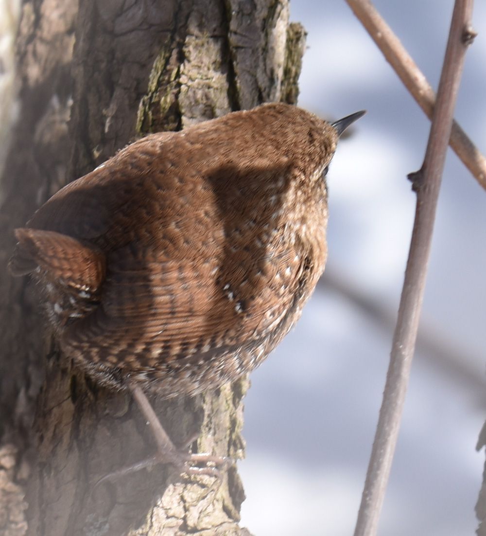 Photo of Winter Wren Back on naturalcrooksdotcom