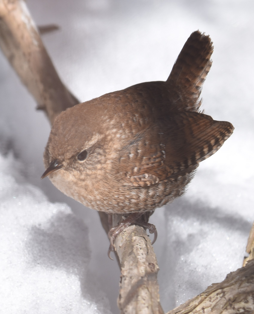 Photo of Winter Wren Snow on naturalcrooksdotcom