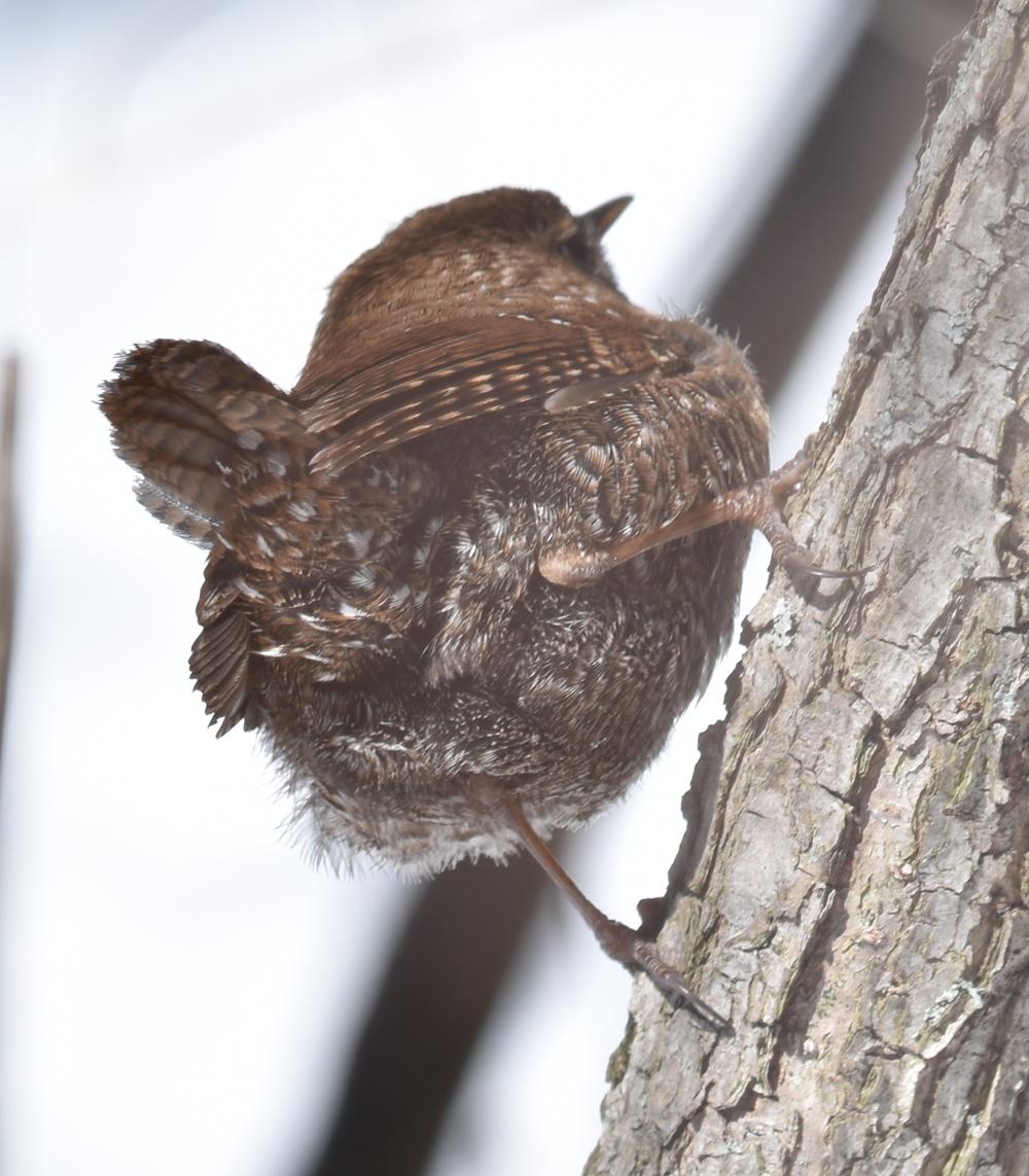 Photo of Winter Wren Tail on naturalcrooksdotcom