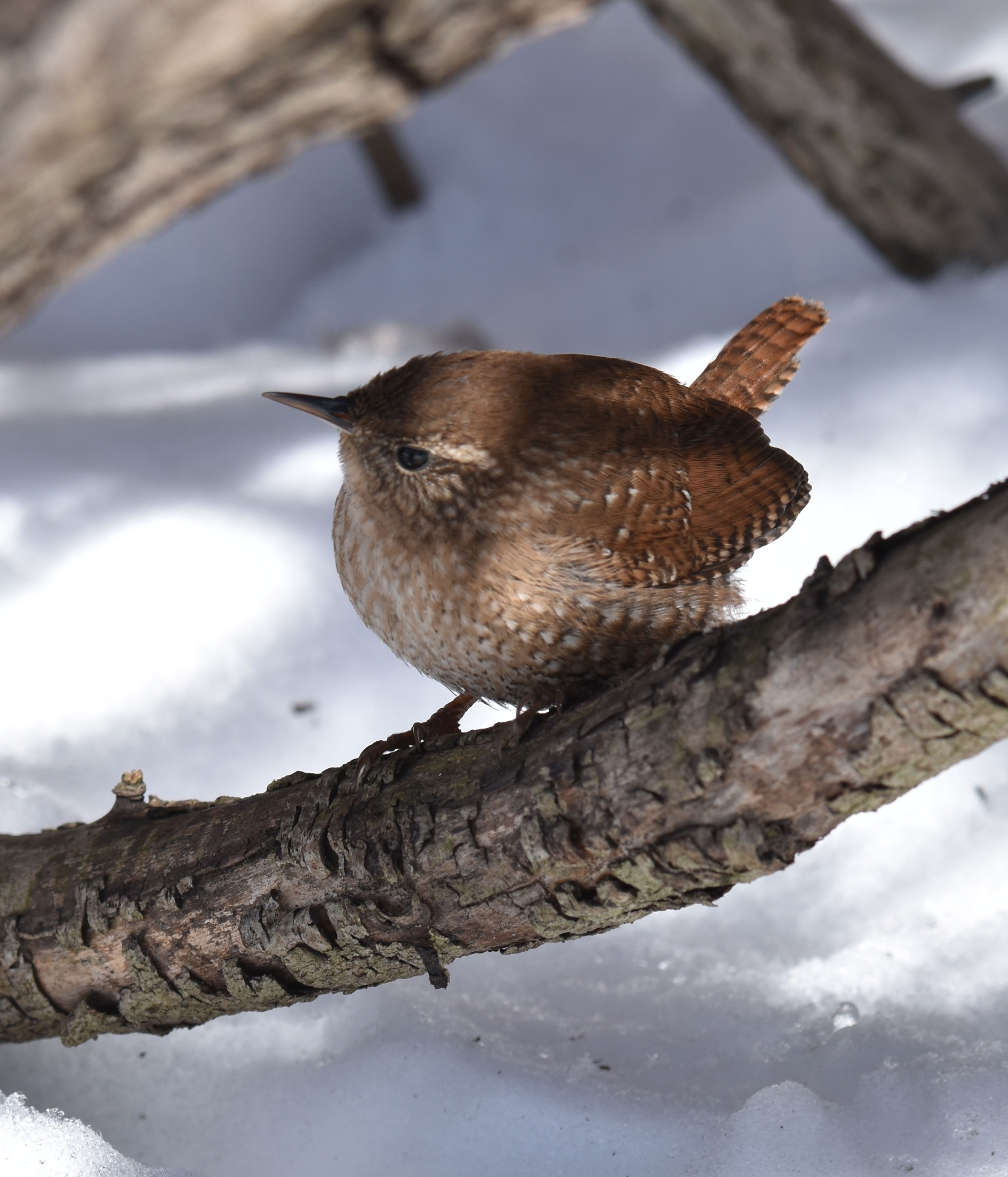 Photo of Winter Wren Tipped Up on naturalcrooksdotcom
