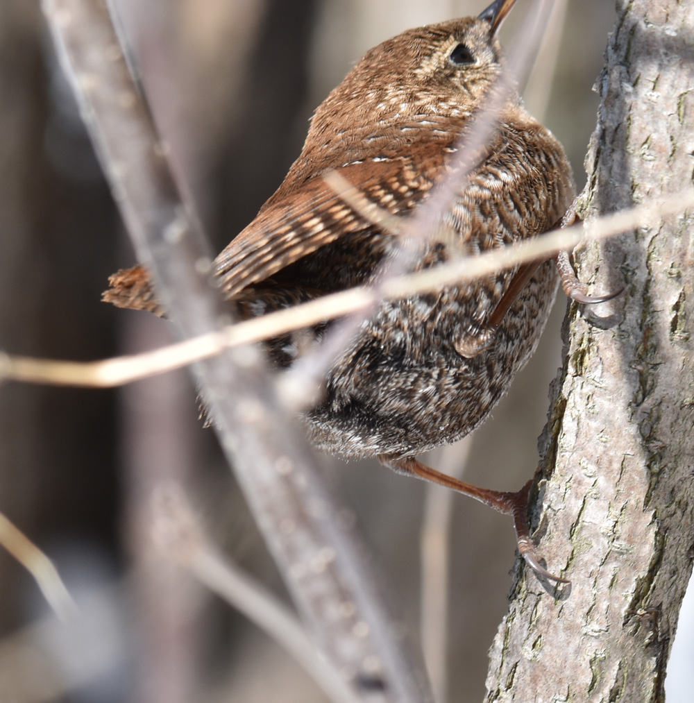 Photo of Winter Wren Up on naturalcrooksdotcom