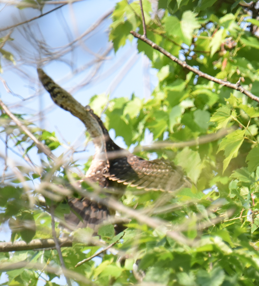 Photo of Coopers Hawk Fledged Flying July 7 on NaturalCrooksDotCom