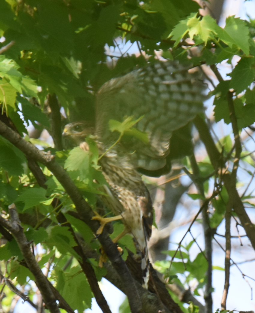 Photo of Coopers Hawk Fledged Leaving Nest July 7 on NaturalCrooksDotCom
