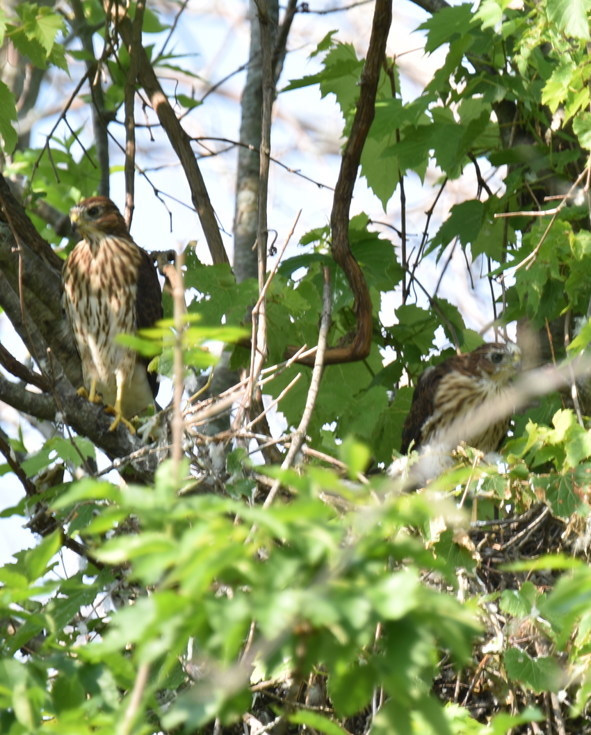 Photo of Coopers Hawks Two Fledged in Nest July 7 on NaturalCrooksDotCom