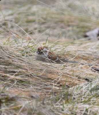 Photo of American Tree Sparrow in Grass on NaturalCrooksDotCom