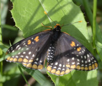 Photo of BaltimoreCheckerspotRiverwoodConservancyMississaugaONCanada20150626 on NaturalCrooksDotCom