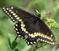 Photo of BlackSwallowtailRattrayMarshMississaugaONCanada2016June4 on NaturalCrooksDotCom