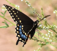 Photo of BlackSwallowtailSheridanMeadowsMississaugaONCanada2016July19 on NaturalCrooksDotCom