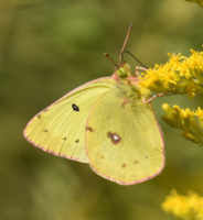 Photo of CloudedSulphurRattrayMarshMississaugaONCanada20160916 Orange Sulphur Photo of OrangeSulphurUndersideRiverwoodConservancyMississaugaONCanada2016May25CalledOrange on NaturalCrooksDotCom Photo of OrangeSulphurRiverwoodConservancyMississaugaONCanadaMay242016 on NaturalCrooksDotCom