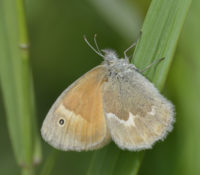 Photo of Common Ringlet Grass Bronte Creek P P ON Canada June 13 on NaturalCrooksDotCom