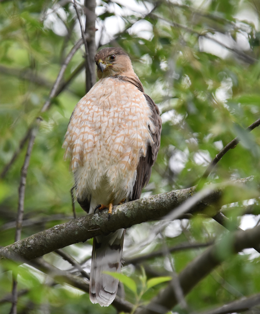 Photo of Coopers Hawk Adult Peering June 28 on NaturalCrooksDotCom