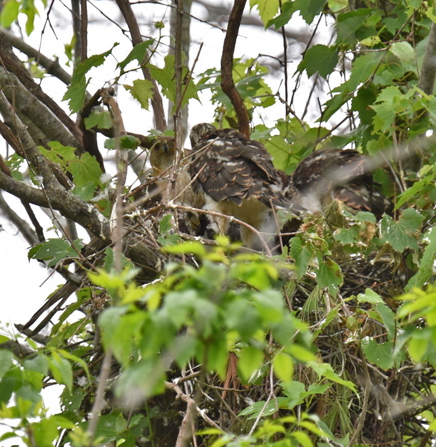 Photo of Coopers Hawk Chicks 3 Feeding Time June 28 on NaturalCrooksDotCom
