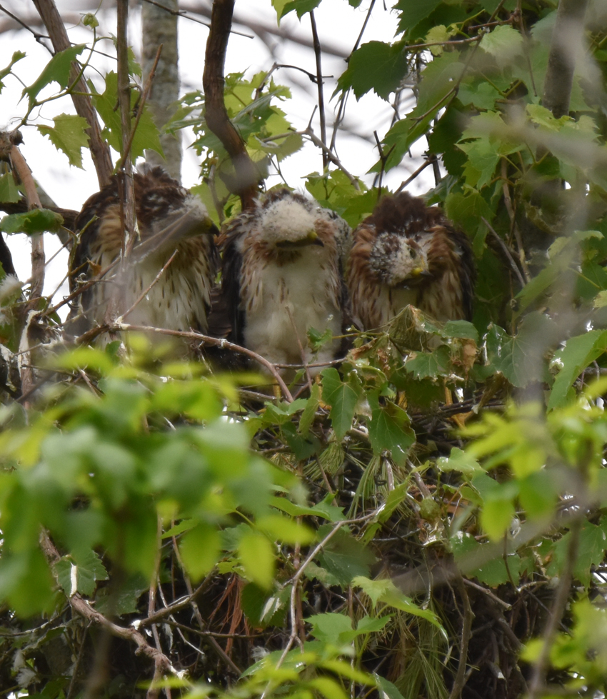 Photo of Coopers Hawk Chicks 3 Looking Left June 28 on NaturalCrooksDotCom