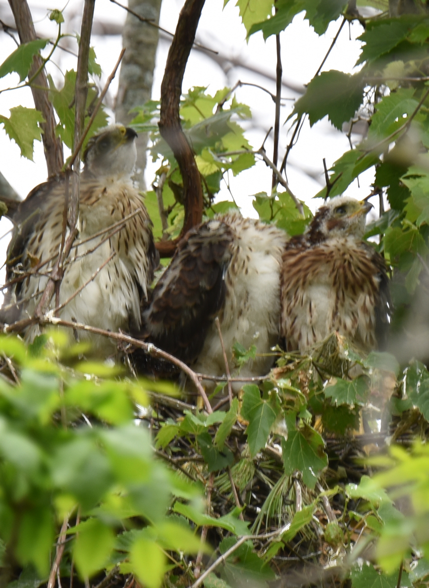 Photo of Coopers Hawk Chicks 3 One Headless Watching for Parent June 28 on NaturalCrooksDotCom