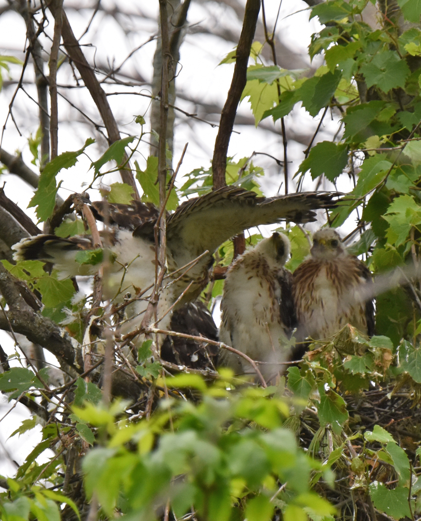 Photo of Coopers Hawk Chicks 3 Tail Wing Spread June 28 on NaturalCrooksDotCom