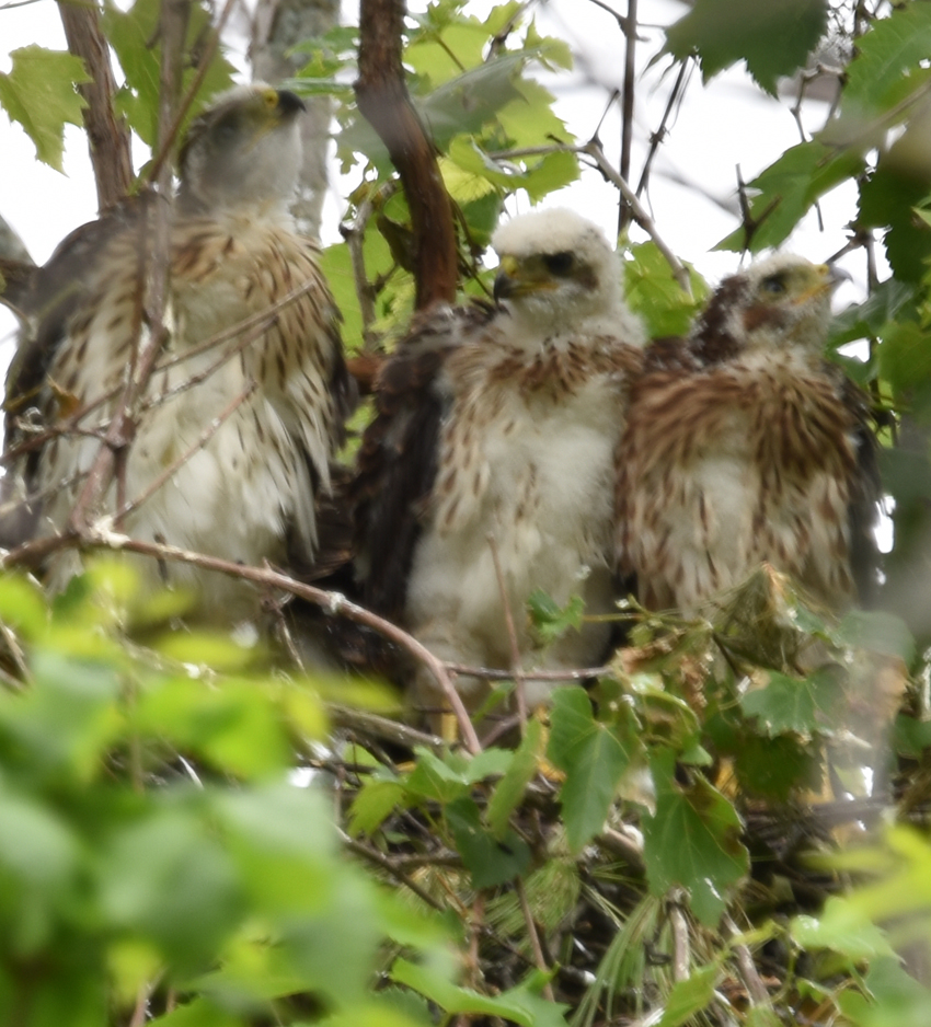 Photo of Coopers Hawk Chicks 3 Watching for Parent June 28 on NaturalCrooksDotCom