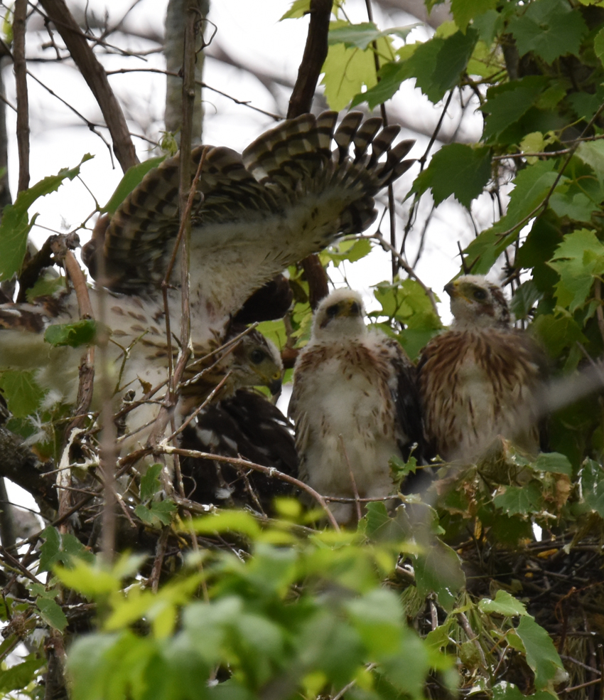 Photo of Coopers Hawk Chicks 3 Wing Up June 28 on NaturalCrooksDotCom