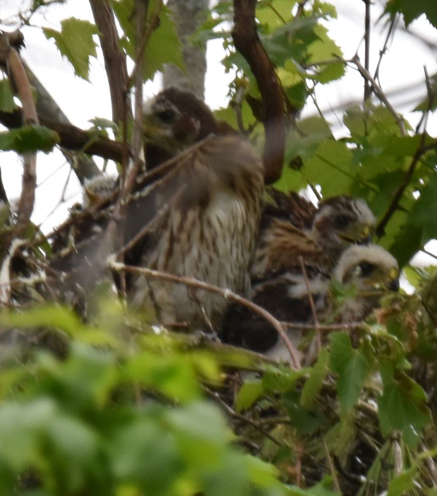 Photo of Coopers Hawk Chicks Possible 4th June 28 on NaturalCrooksDotCom