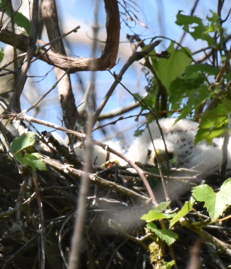Photo of Coopers Hawk Face Of Middle Chick June 17 on NaturalCrooksDotCom