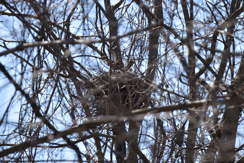 Photo of Coopers Hawk Nest Looks Empty But Tail on NaturalCrooksDotComApril17