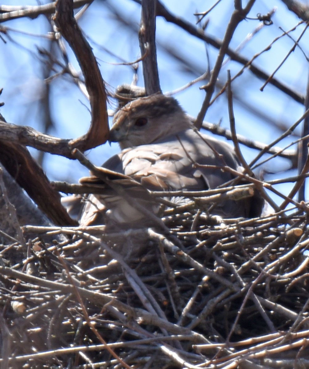 Photo of Coopers Hawk On Nest Over Shoulder April 20 on NaturalCrooksDotCom
