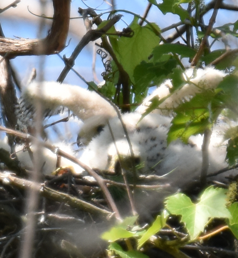 Photo of Coopers Hawk Two Chicks Back One With Feathers June 17 on NaturalCrooksDotCom