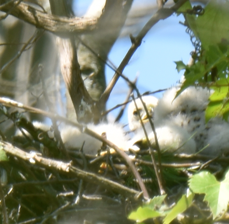 Photo of Coopers Hawks Three Chicks Heads Two Clearly June 17 On NaturalCrooksDotCom