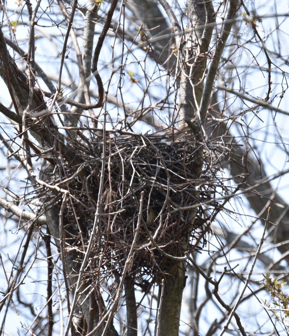 Photo of Coopers Nest May 9 on NaturalCrooksDotCom