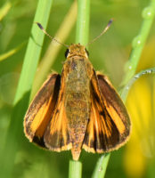 Photo of Delaware Skipper 2 Riverwood Conservancy on NaturalCrooksDotCom