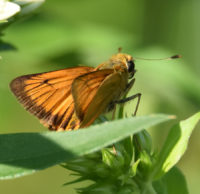 Photo of Delaware Skipper 1 on NaturalCrooksDotCom