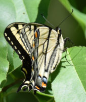 Photo of EasternTigerSwallowtailDRiverwoodConservancyMississaugaONCanada2016June3 on NaturalCrooksDotCom