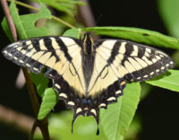 Eastern Tiger Swallowtail Riverwood Conservancy Mississauga ON Canada 2016June11 on NaturalCrooksDotCom