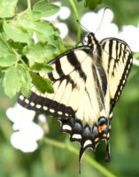 Eastern Tiger Swallowtail View 1 Riverwood Conservancy Mississauga ON Canada 2016June1 on NaturalCrooksDotCom